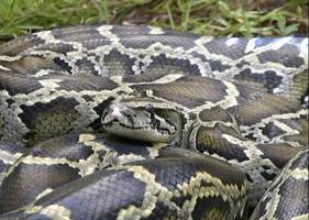 giant python: indonesians eat giant snake after man defeats snake