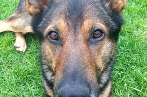how hero police dog who survived horrific knife injuries to change the law