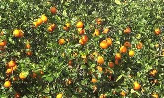 florida's farmers produce smallest orange harvest since wwii after irma wiped out half of crops