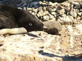 only two penguin chicks survive antarctica breeding season