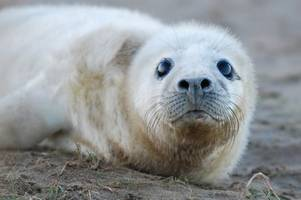You can watch seals being born on a beach just two hours from Nottingham