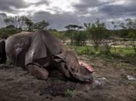 dead black rhino with horn hacked off in south africa