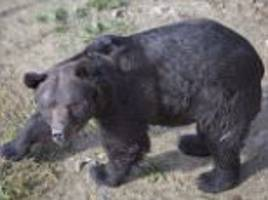 bear used for dog baiting in ukraine freed after 16 years
