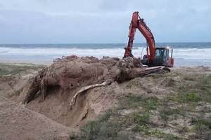 buried whale remains bubble up to surface like lava; video