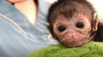 Vets in Colombia are nursing a tiny spider monkey back to health.