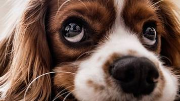 puppy dog eyes are for human benefit, say scientists
