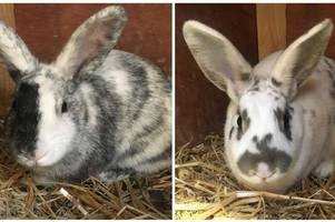 a pair of abandoned rabbits are rescued by the scottish spca