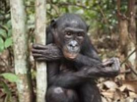 study finds bonobos help others without being asked