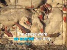 peta releases shocking footage of canada goose suppliers