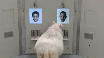 This sheep can recognise Barack Obama