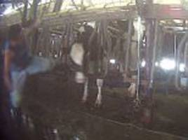 Undercover video shows worker kicking cows at Florida farm