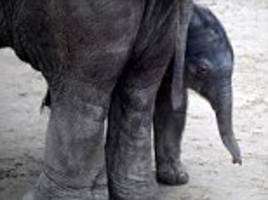 baby elephant makes public appearance in budapest zoo