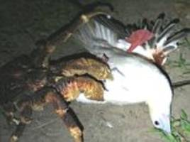 coconut crab crushes and kills a bird in chagos islands