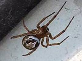 false widow spiders crawling into uk homes to escape cold