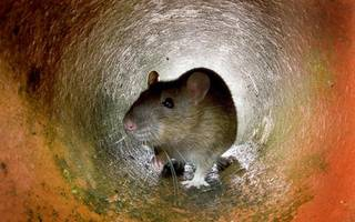 Better broadband by laying fibre in sewers? Rats the way you do it