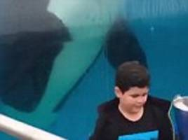orca mimics little boy's moves at san diego zoo