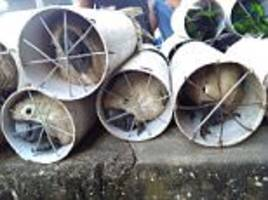 indonesian men crammed exotic birds into drain pipes