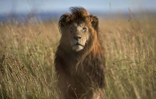 Lions Next In Line After Trump Administration Lifts Ban On Elephant Trophies