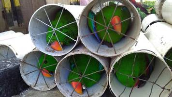 Exotic Indonesian birds smuggled in drain pipes