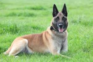 uk military dog awarded medal for saving troops in afghanistan