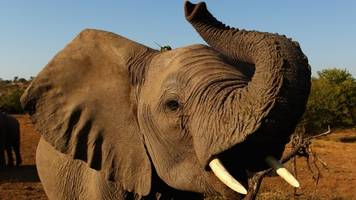 trump pauses the decision on importing african elephant trophies