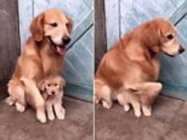 adorable video shows dog protect puppy from 'real world'