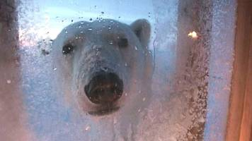 polar bear at the window