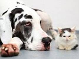great dane saves cat's sight by giving blood in eye drops