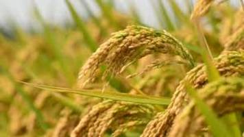 over 172 lakh tonnes of paddy procured in punjab