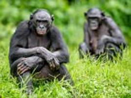 malaria identified in wild bonobos for the first time