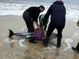 archill island facebook appeal sees beached dolphins saved
