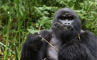 What is it like to hang out with gorillas in the forests of Rwanda?