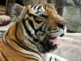 tiger shot after escaping french circus and roaming streets of paris