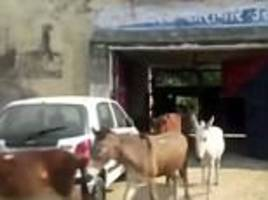 eight donkeys are jailed for four days in india