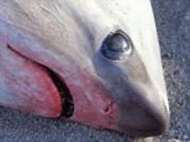 sharks found dead along cape cod bay from 'cold shock'