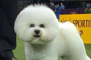 Watch Flynn the Bichon Frise win the 2018 Westminster Kennel Club Dog Show Non-Sporting Group