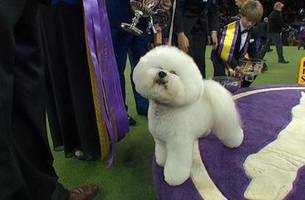 Flynn the Bichon Frise wins Best in Show at the 2018 Westminster Kennel Club Dog Show