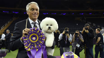 flynn the bichon frise wins best in show at westminster kennel club