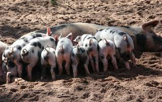 Chinese Farmers Are Using AI to Track and Monitor Pigs