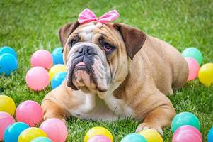 easter warning that hot cross buns can be fatal to dogs and make them hallucinate