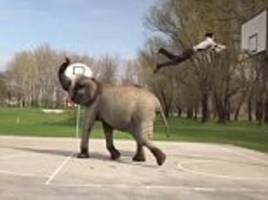 animal trainer pulls off slam dunk with the help of his elephant which launches him into the air