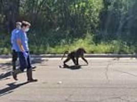 Baboons roam Texas after escaping from medical research center