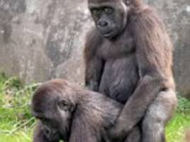 Young male gorillas are caught in compromising positions as they mimic the grown-ups at Dutch zoo