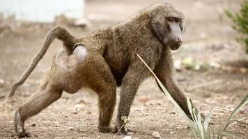 Baboons prop up barrels to escape Texas research centre