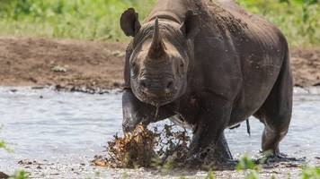 south africa rhino poaching: 'web of corruption' blamed