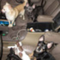 33 abused chihuahuas found in maryland 4wd