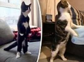 Twitter users share bizarre photos of cats stood upright on two paws
