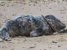 seal taught to swim again after being caught with a plastic ring