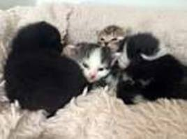 seven tiny kittens are found cruelly dumped on a pavement in exclusive belgravia