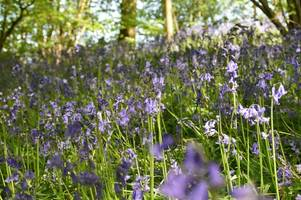first timer's guide to hatchlands park national trust site including stunning bluebell woods